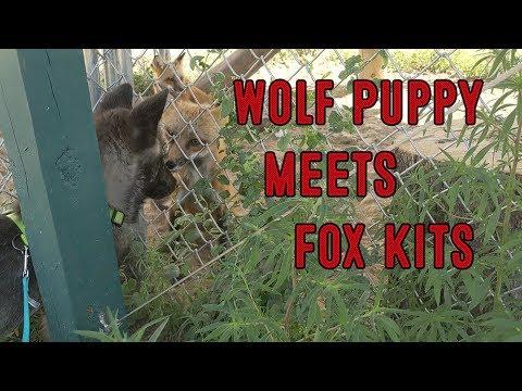 Wolf Puppy meets Fox Kits