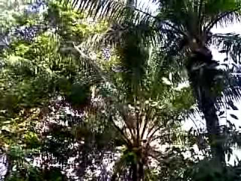 The Sound Of Oriental Pied Hornbill In the Wild