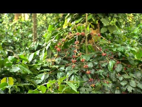 Ripe Coffee beans on the hills of Karnataka