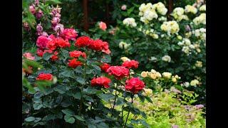 Второе цветение роз в саду. Секреты образования новых базальных побегов.