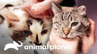 Los más tiernos pacientes felinos | Veterinarios de Texas | Animal Planet