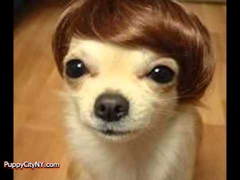 Dogs in Wigs!