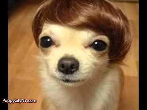 Dogs in Wigs! - YouTube