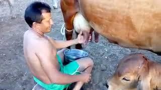 Como tira leite vaca facil e rapido