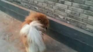 北京の南鑼鼓巷で出会ったチャウチャウ.
