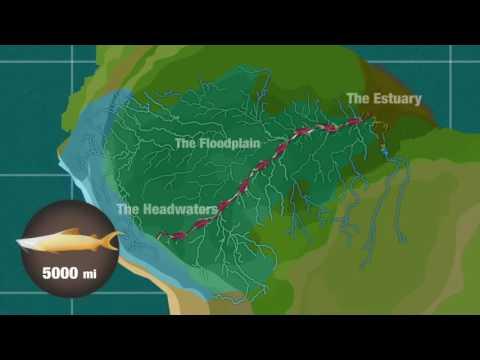 The Dourada Catfish: An Amazonian Traveller With No Borders