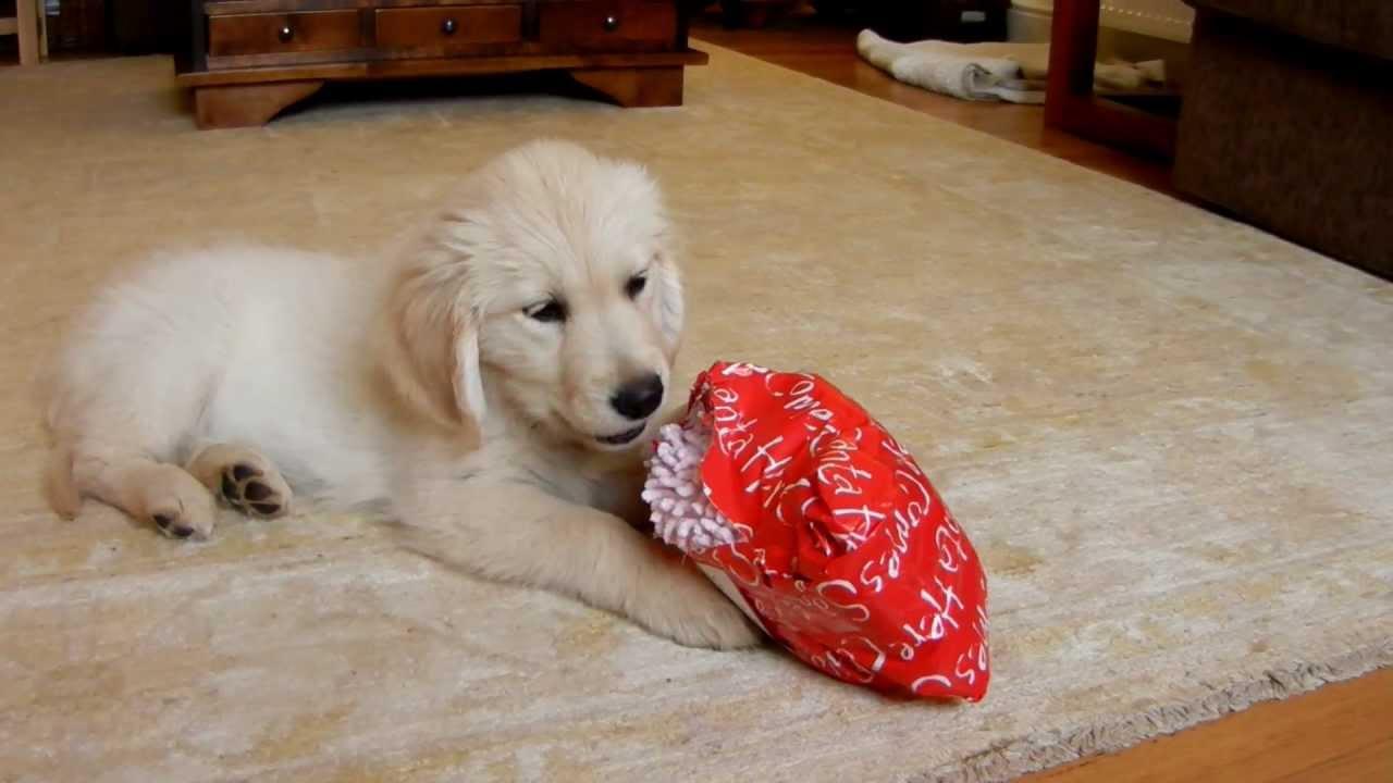 Golden Retriever Puppy opening her Christmas present