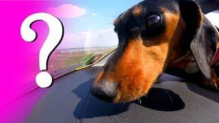 СОБАКА в машине | КАК ПЕРЕВОЗИТЬ собаку в машине ?