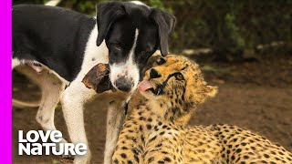 Cheetah And Dog Are Best Friends   Oddest Animal Friendship   Love Nature