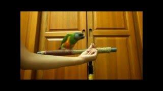 鸚鵡響片教學