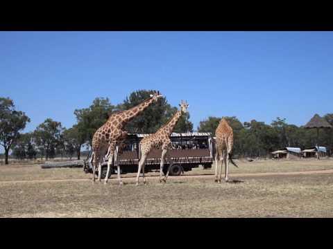 Savannah Safari At Taronga Zoo Western Plains