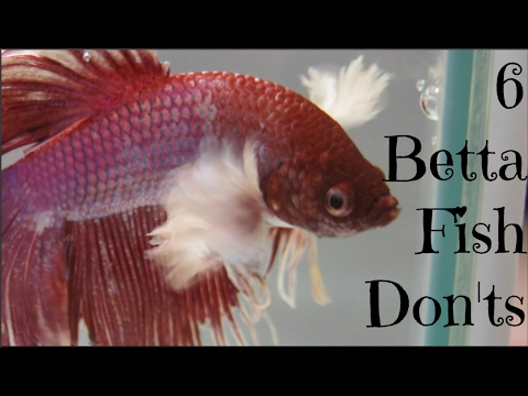 6 Betta Fish Don'ts
