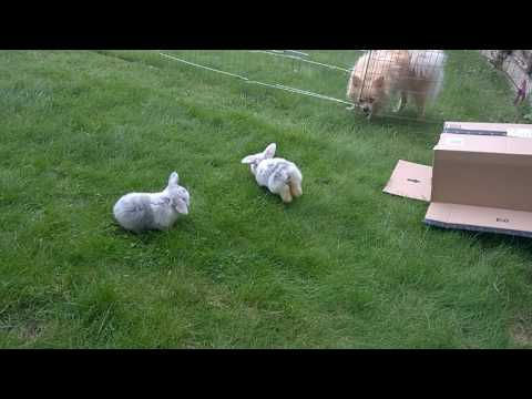 3 Week Old Baby Mini Lop Bunnies On The Grass For The First Time - Sooo Cute!