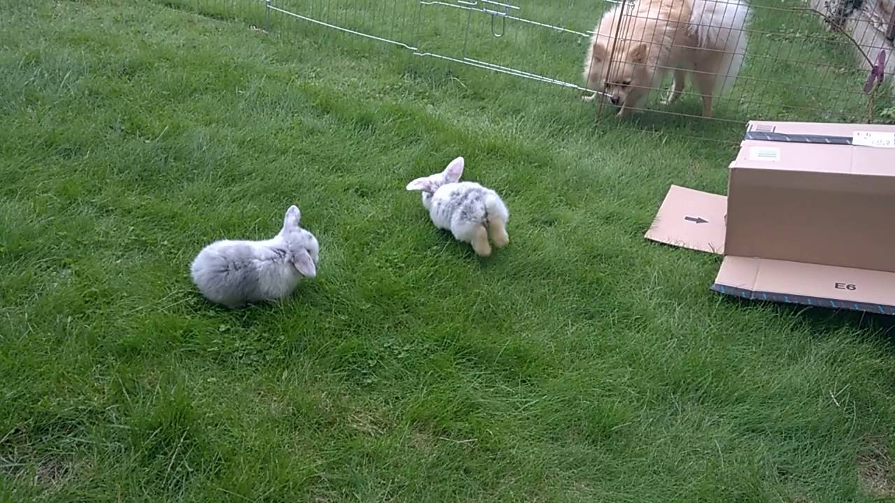 3 week old baby mini lop bunnies on the grass for the first time sooo cute youtube. Black Bedroom Furniture Sets. Home Design Ideas