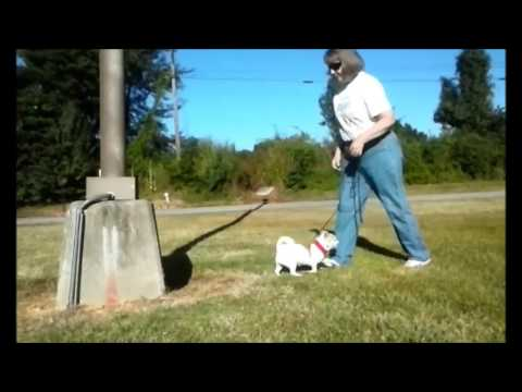 Angel the Parkour Chihuahua-All Dogs Parkour Level 3 (2GC)-Leg 3