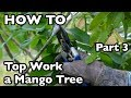 How to Top Work a Mango Tree- Part 3