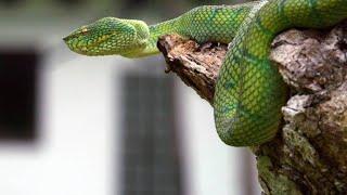 How Caretakers Teach Orangutans to Fear Snakes