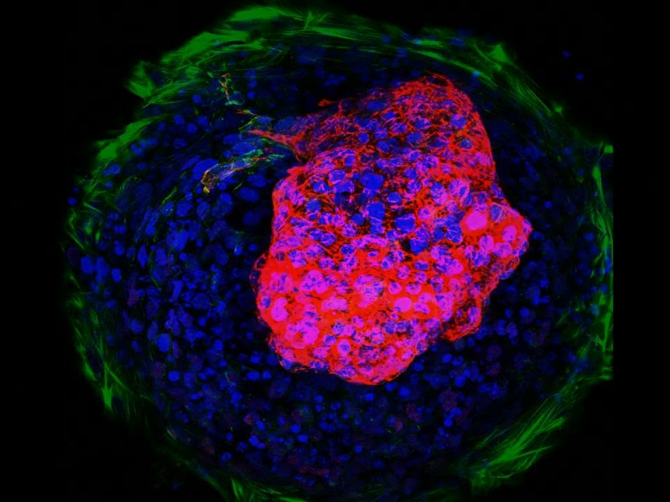 This Tiny, Beating Heart Was Made From Stem Cells | HuffPost
