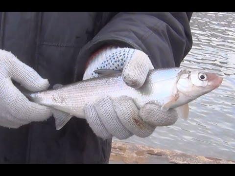 Красивый Сиг - вкуснейшая рыба пойманая на удочку наживка веснянка рыбалка