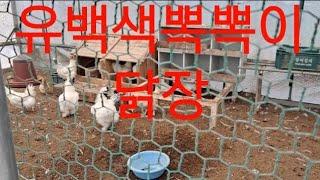 뽁뽁이 닭장 무더위속 유백색 뽁뽁이로 #더존팡 #에어볼…