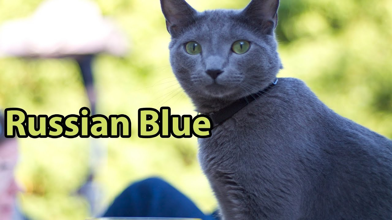 Russian Blue Cat At  Months