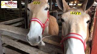 Robert L. Blackford Auctions at Annual Carter Higgins Mule Auction