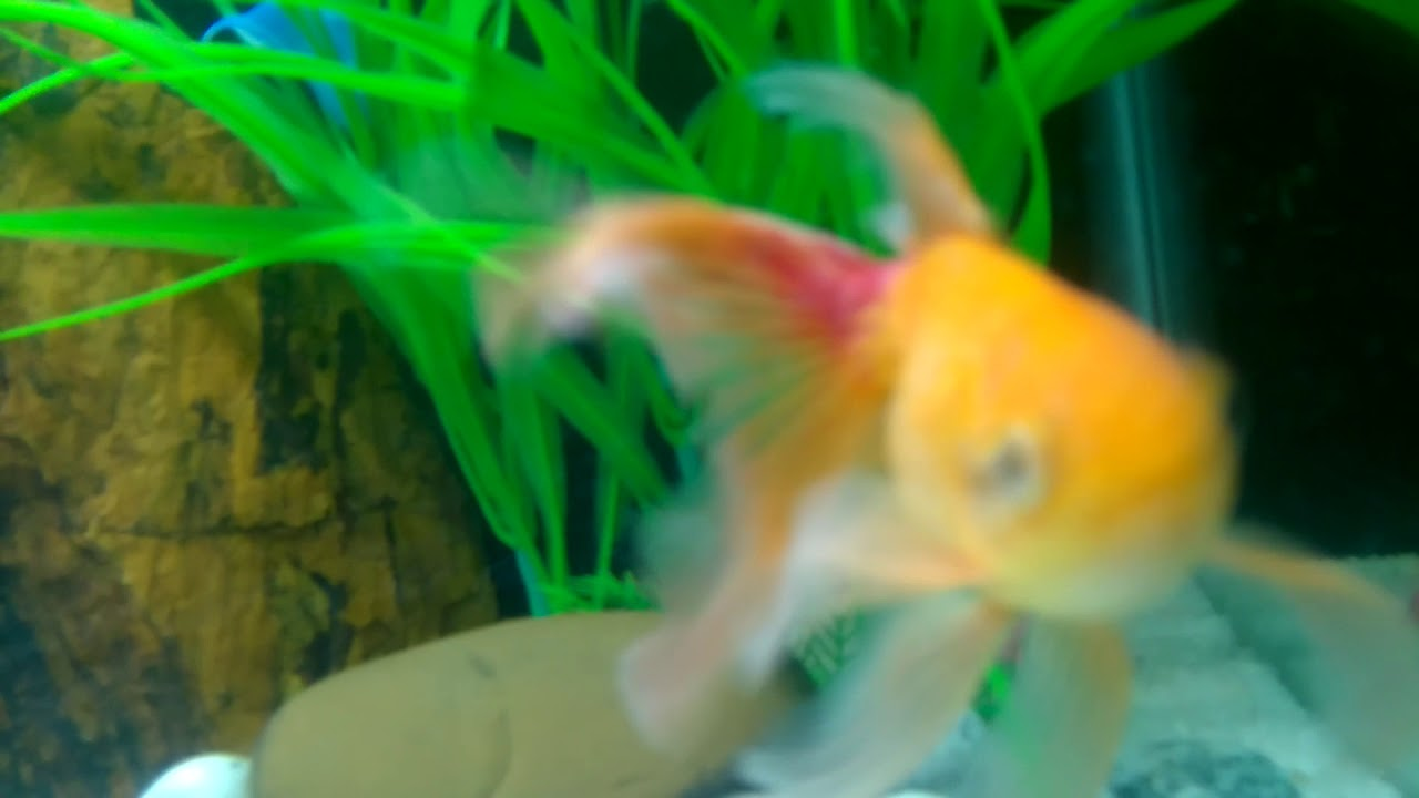 Goldfish having red spot on its tail part and losing colour and fin ...