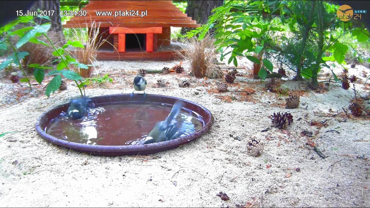 Wesołe sikorki bogatki w pojemniku z wodą przed domkiem dla jeży