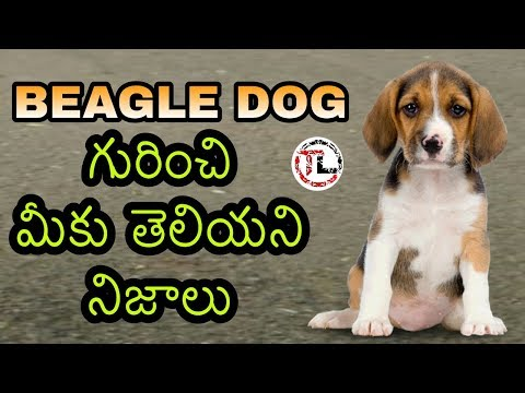 Beagle dog facts In Telugu | popular dog breed