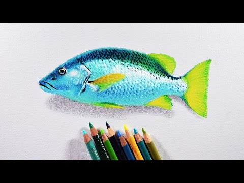 How To Draw A Fish - Prismacolor Colored Pencils Tutorial.