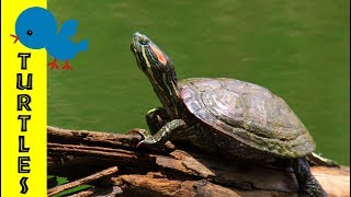 Turtles for Little Ones: Preschool Learning about Turtles for Kids - FreeSchool Early Birds