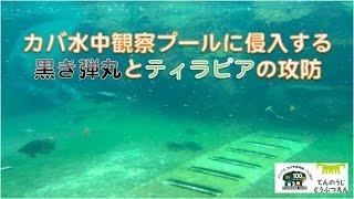 天王寺動物園のカバ水中観察プールで起きた事件? いなくなってる訳では...