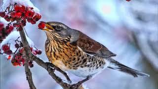🐦Ardıç Kuşunun Şarkısı 🐦Kuş Sesleri🐦Dinlendirici ve  Rahatlatıcı Kuş Sesi Dinle