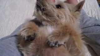 Norwich Terrier KOMUGI 歯ブラシなんて嫌いだ!断固拒否! この後渋々...