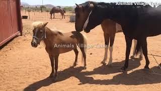 Mini Horse Meeting Two Big Horses 2020