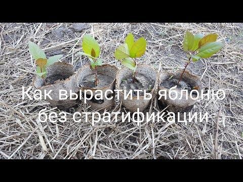 Вопрос: Как вырастить яблочное дерево из семян?