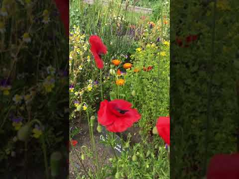 Poppies From Scotland | Ravikant Pandey