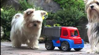 "Biewer Yorkshire Terrier ""goliath & Loki""  At Trucker Job"