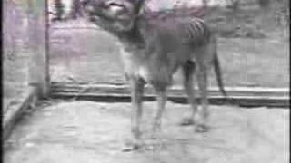 Last Tasmanian Tiger, Thylacine, 1933