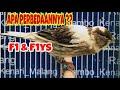 Kenari F Dan Fys Ini Perbedaanya Rambo Kenari Malang  Mp3 - Mp4 Download