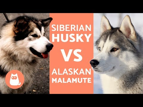 HUSKY VS ALASKA - Diferencias entre HUSKY SIBERIANO y ALASKAN MALAMUTE