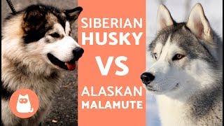 HUSKY VS ALASKA  Diferencias entre HUSKY SIBERIANO y ALASKAN MALAMUTE