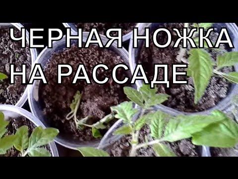 Выращивание томатов в теплицах -