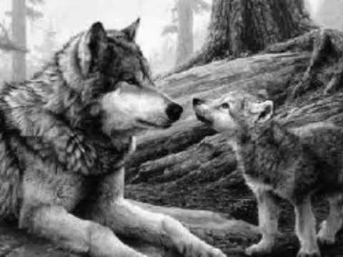 imagenes de lobos 3 por Wolf kry - YouTube