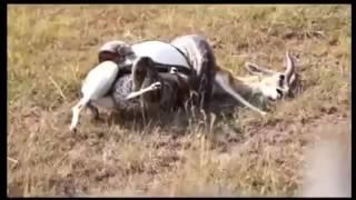 Niesamowite ataki dzikich zwierząt.