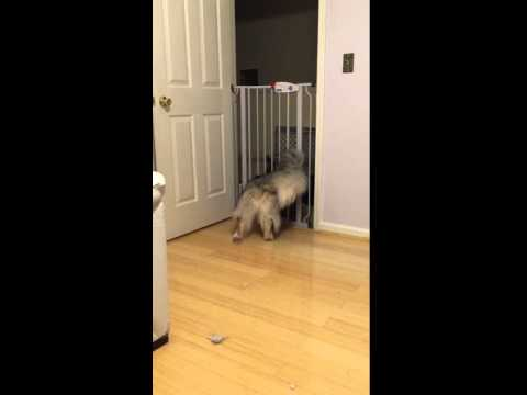 Large dog escapes through small cat door