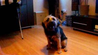 Border Terrier Doing Tricks