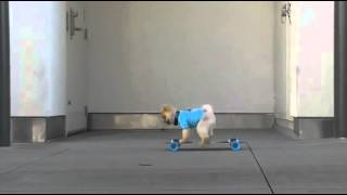 Jiff  The Pomeranian Made For Gifs   Funny Videos At Videobash