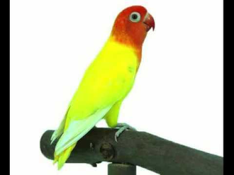 MASTERAN LOVEBIRD JUARA NASIONAL