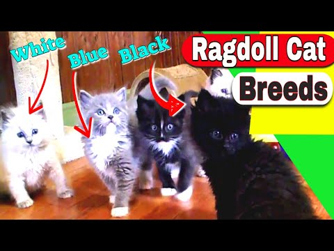 Ragdoll Cat Breeds  What is the personality of the Ragdoll Cat Breeds?